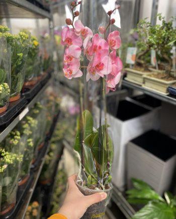 Orhideja u saksiji 548
